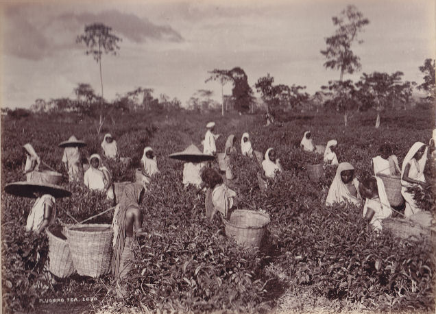 essay on history of tea in india